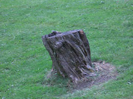 Tree stump in yard